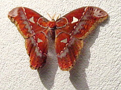 Photo of the red butterfly on the wall in the jungle.
