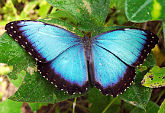 Photo of a blue butterfly from the pacific coast